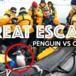 Pingüino salta a un bote de turistas y evita ser devorado por una orca; video se vuelve viral.